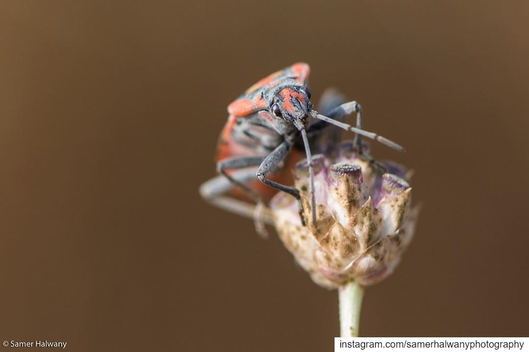 Kingdom insect!... from my macrolens this shot of a milkweedbug shot in ...