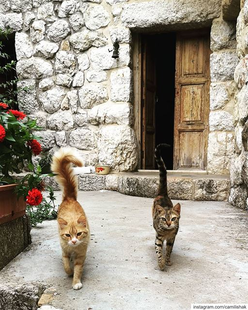 lebanon livelovebeirut mountlebanon mountains animals cat cats catwalk... (Aramoun Kesrouan Village)