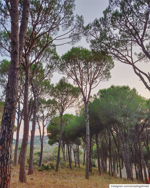 Relaxing underneath the pine trees😌 (Joûn, Liban-Sud, Lebanon)