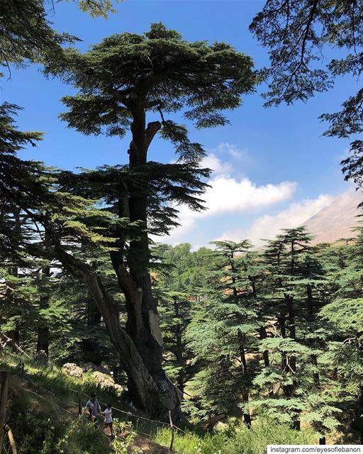 صباح الخير من الأرز 😃 Natural painting 🖼 Credits to @ranya__aly ・・・... (Cedars of God)