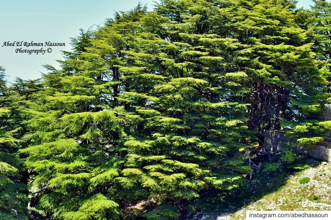Majestic cedars 🌲 ............................... (Jaj, Mont-Liban, Lebanon)