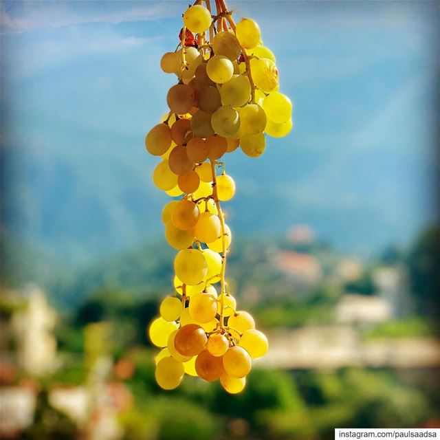 September grapes fruits lebanon kartaba qartaba summer beirut ... (Qartaba)