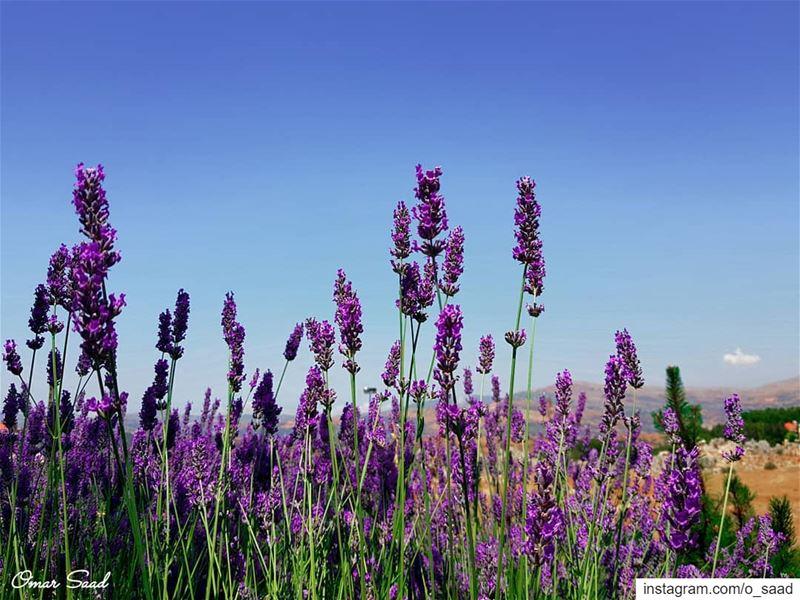 Lavender faqra mountlebanon nature lavender o_saad sunnyday beautifulday...
