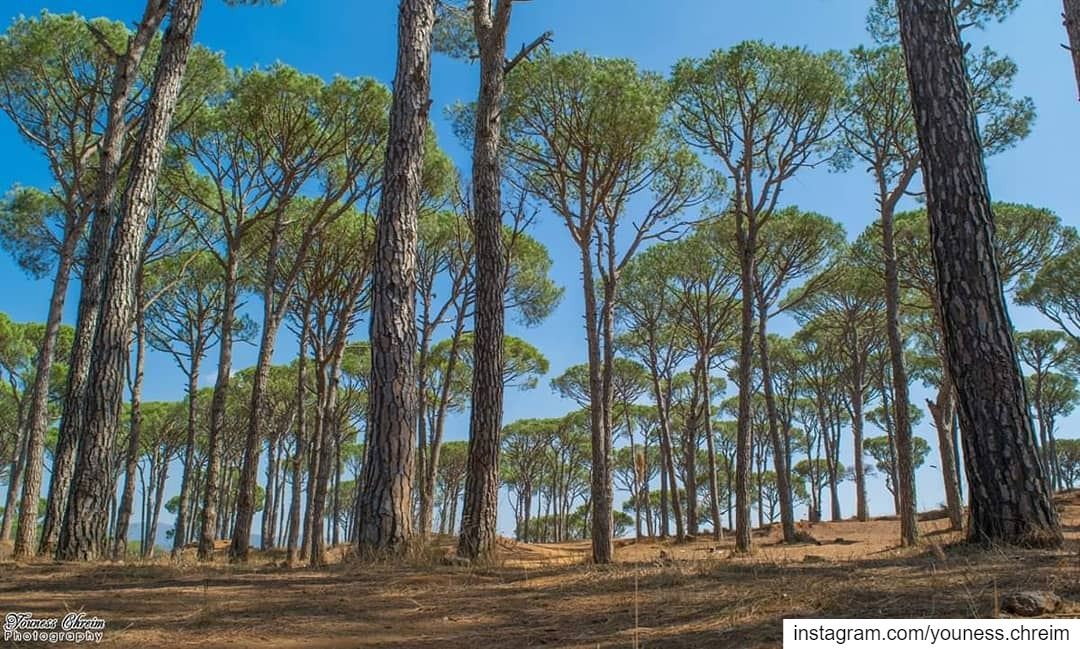 Good morning from Al Ayshyya nature naturelebanon pine pinetree tree... (`Ayshiyah, Al Janub, Lebanon)
