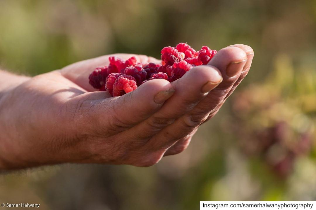 Fresh!...The raspberry of bekaa from the farmer hand to your table...