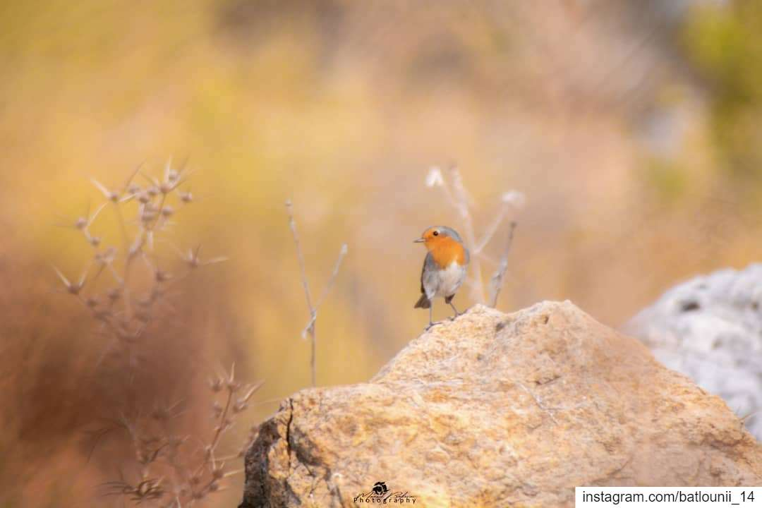 The Robin bird 🍂───────────────── robinbird shoufbiospherereserve ...