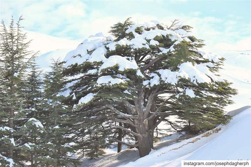 ❄️_______________________________________________________ JDPhotography ... (Cedars of God)