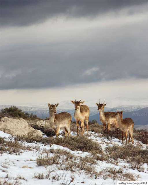 Fantastic Four 🦌 (West Bekaa)