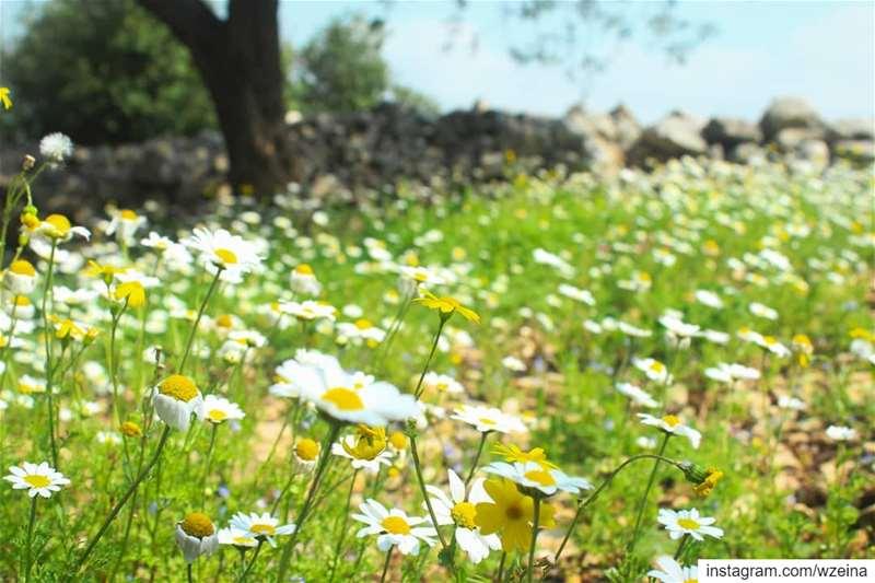 la tendresse ..الرّقة هيّي الربيع 💛💚 spring springiscoming camomile...