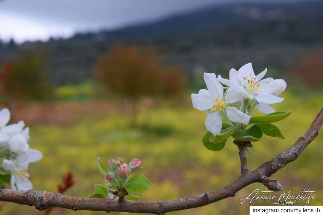 No matter how difficult days might be, but the spring will follow 🌸 • A... (North Governorate)