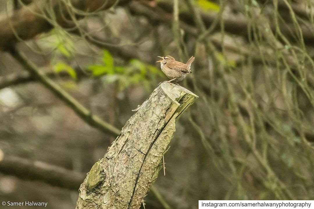 Out loud!The wren ... photographed in beirut lebanon bird ...