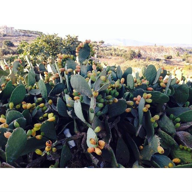 Cactus fruit❤️😍. simplyaroun