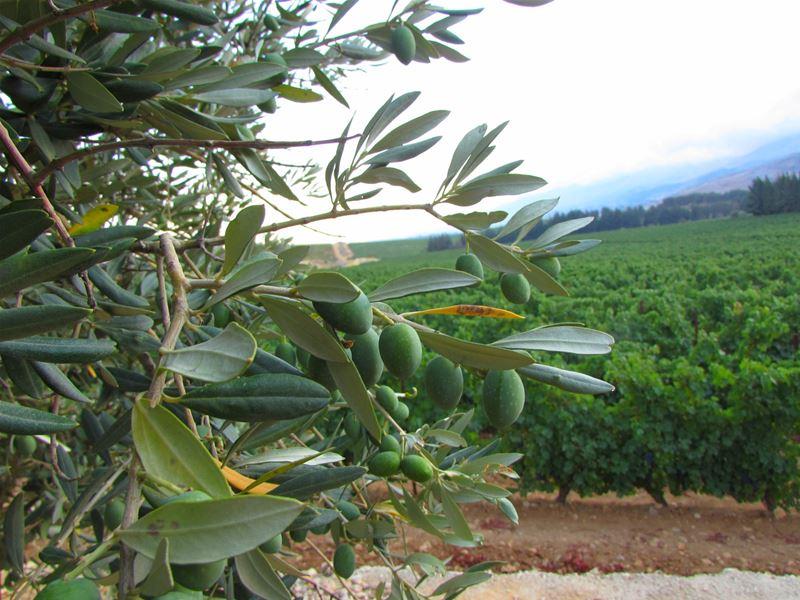 Olive Plantation (Bekaa Lebanon)