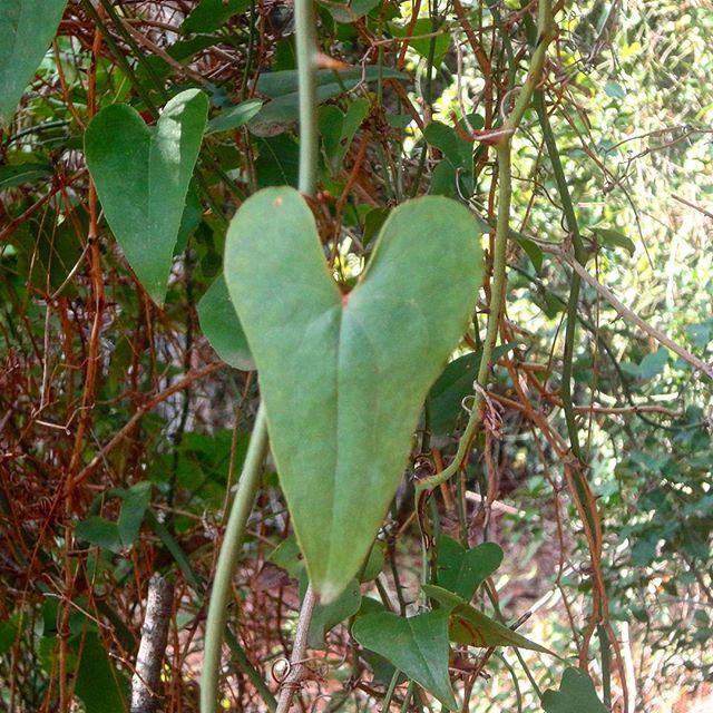 alwaysgreen wintertime greenleaves greenheart verdures