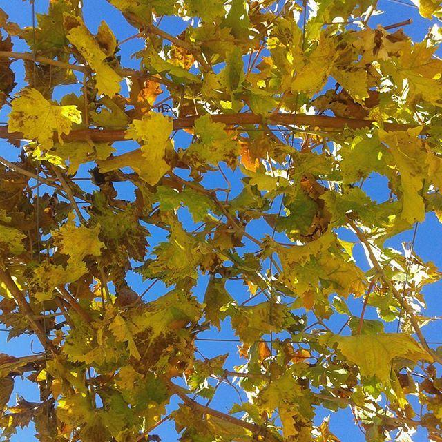 autum autumncolours yellowleaves bluesky beautifulday vigne grappe grapes (Zahleh)