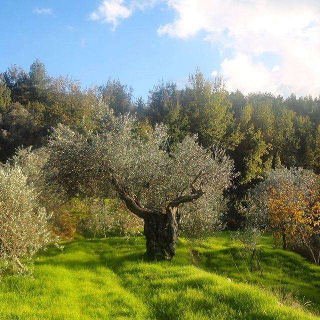 natureverte autum autumncolours beautifulnature olivetrees verdure greennature greenery paradissurterre heaven automne (Hardine, Lebanon)