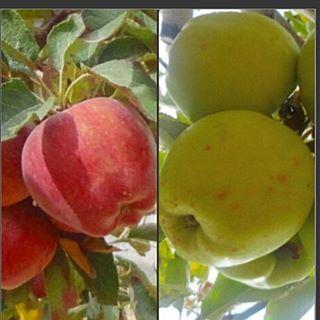 Pomme de reinette et pomme d'api ,tapis tapis rouge (Tarchich)