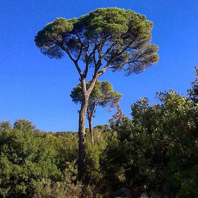 nature pinetrees beautifulnature discoverlebanon (Mshikha, Mont-Liban, Lebanon)