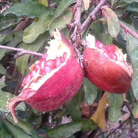 fruit grenadine twins (Mrayjet Shtaura)