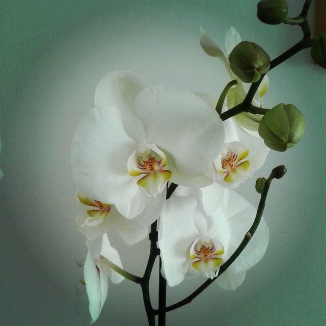 orchidée flowers