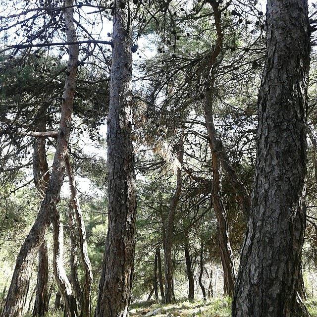 pinetreesforestnatureshots (Bhersaf)