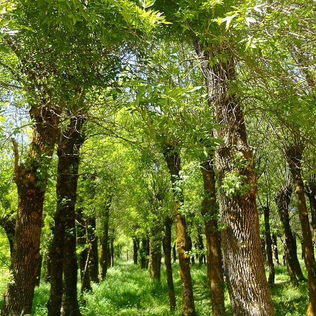 forestgarden forettreesgreen path discoverlebanonsnature discoverlebanon natureshots