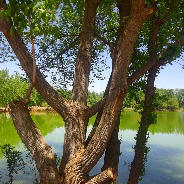 natureshots naturetrees,reflection water lakelacloves_lebanon bôliban treegreen beautifullebanon (Taanayel- Bekaa)