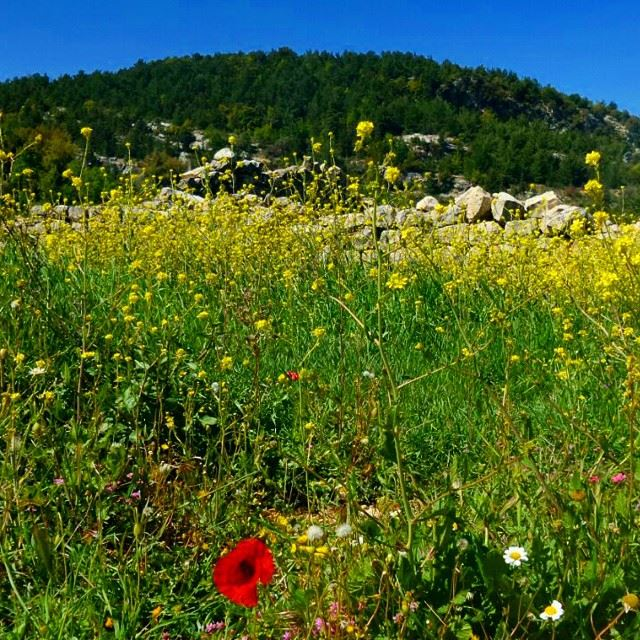 garden flowers coquelicot mountain discoverlebanonsnature forest