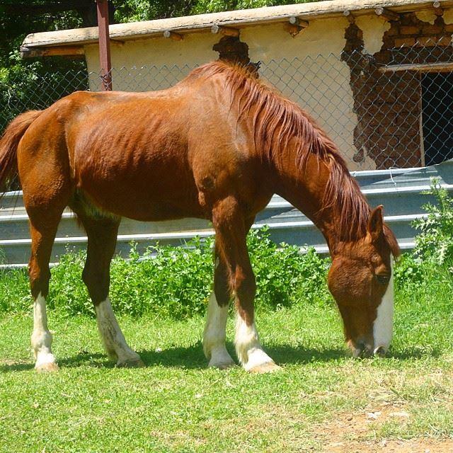 farm horses ferme chevaux