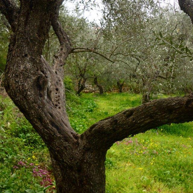 springspirit springmoments olivetrees mountain olivediscoverlebanon whatsuplebanon