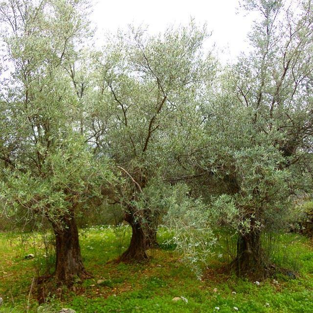 garden olivetreesorchard natureolive