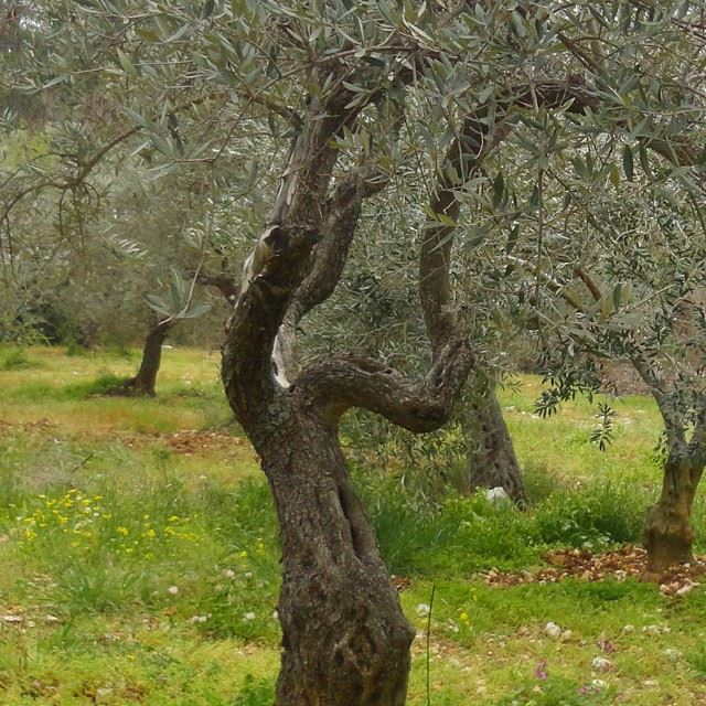 olivetree gardenorchard springspirit