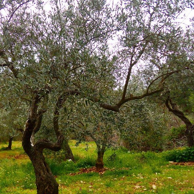 olivetree springspirit treesbranchbranches