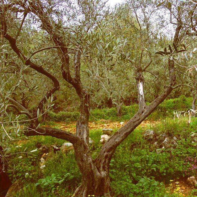 olivetrees olivetree springnatureshots olives discoverlebanon beautifulnature