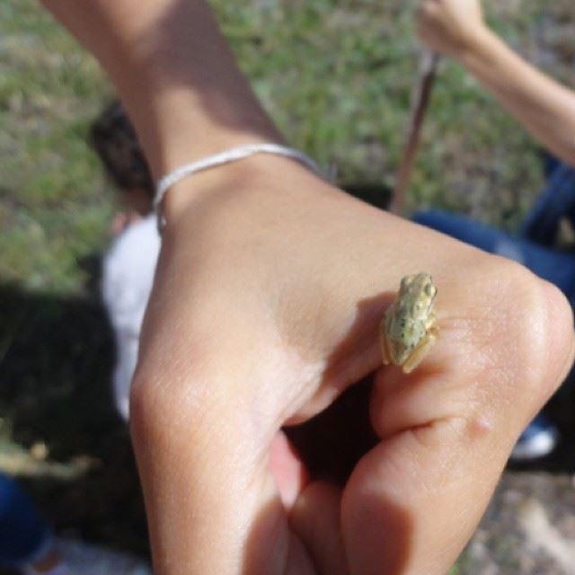 Têtard grenouille frog