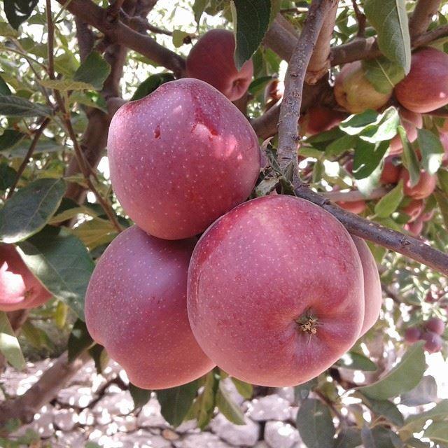 red apple mountain apple tree (Tarchich)