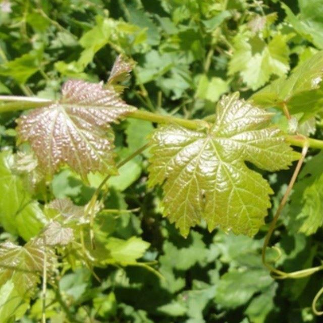 nature grapes green nofilter