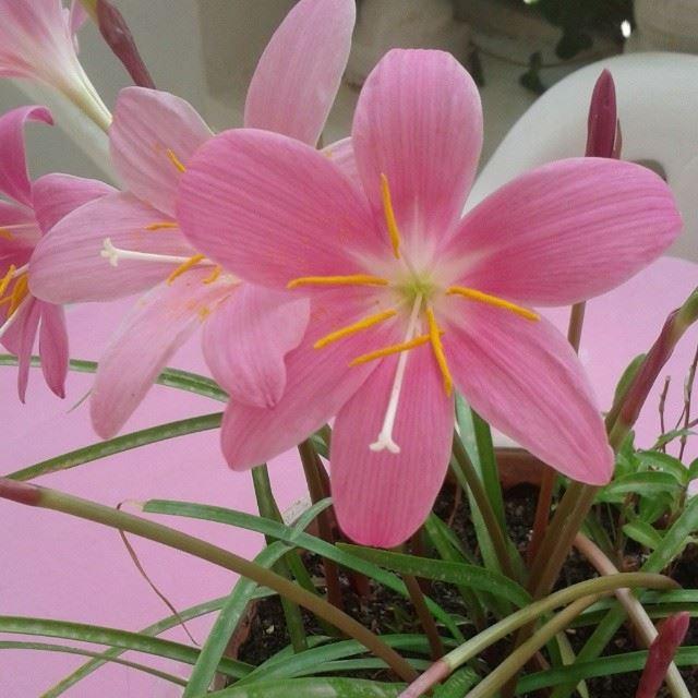 flowers pink fleurs nofilter