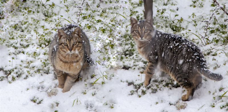 2 Cats Playing in Snow