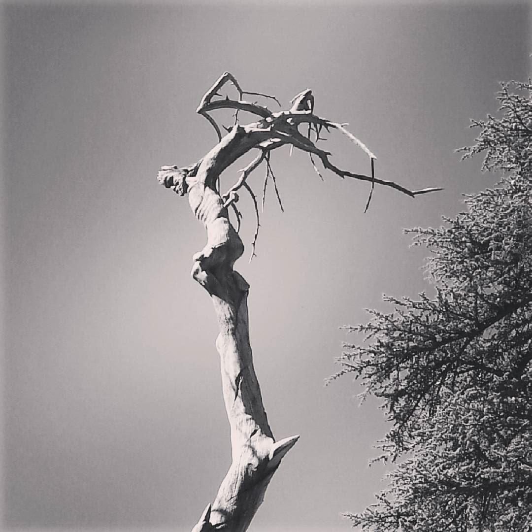 Jesus Tree Lebanon Cedars