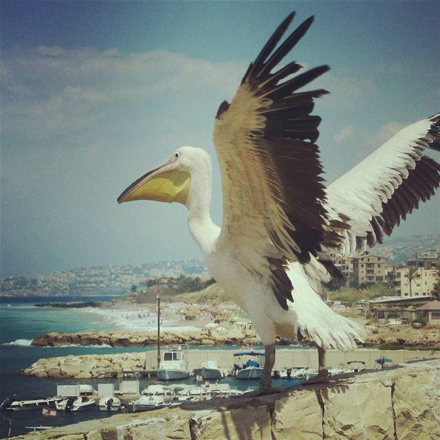 #birds#pelican#sea#bouar#lebanonby