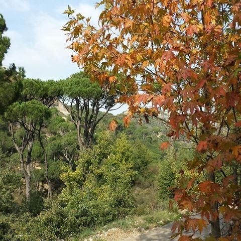 Hello November 🍂🍁 Green and Gold Trees (Fouara - Chouf)
