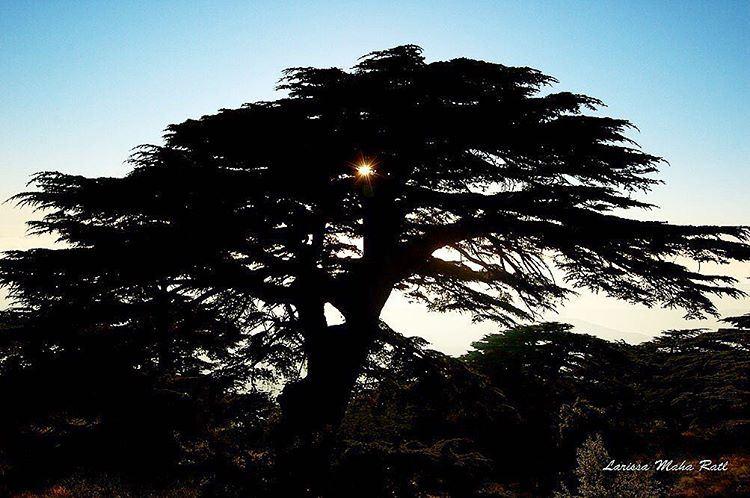 Le génie, comme le cèdre du Liban, pousse sur les cimes,(Barouk Cedar Forest)