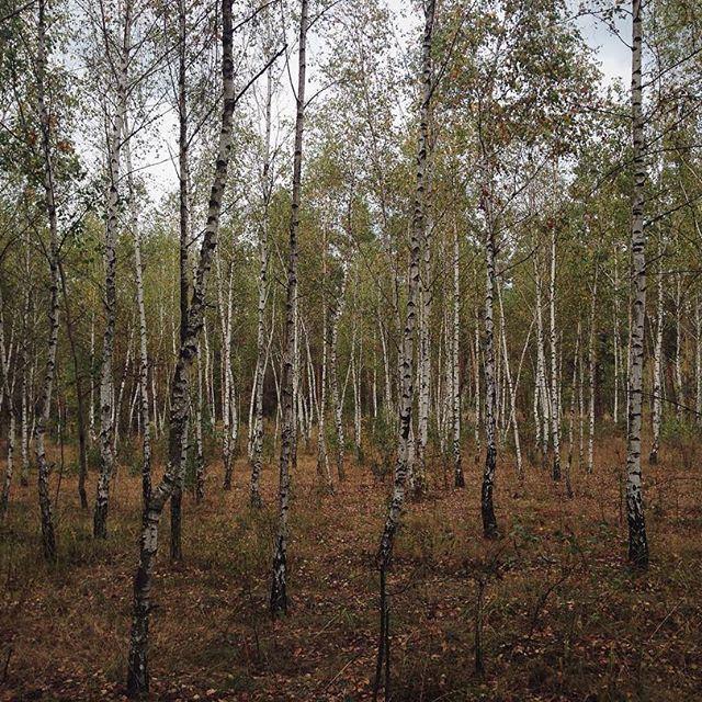 Березовая роща - это всегда красиво. Тишина, от которой все мысли улетучиваются и становится просто хорошо. (Kyiv, Ukraine)