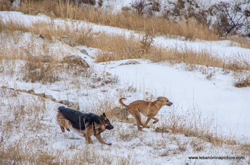 Dogs Playing on the Snow (Tannourine, Lebanon)