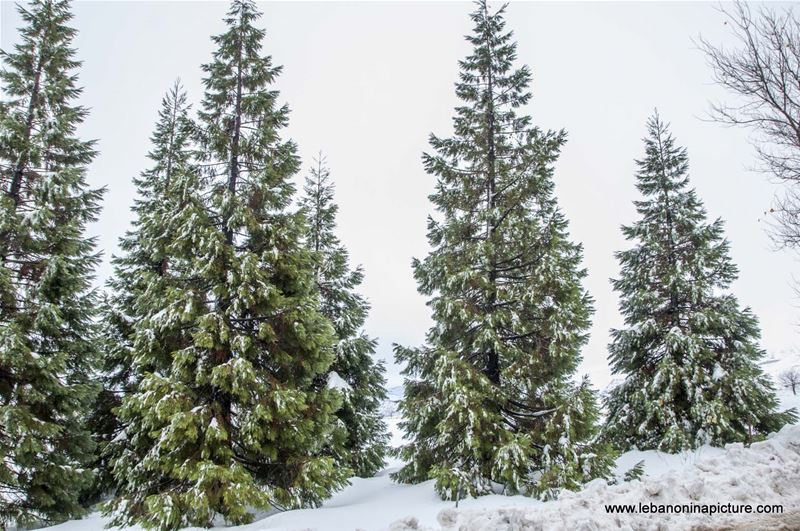 Cedar and Pine Trees Covered in Snow (Laklouk, Lebanon)