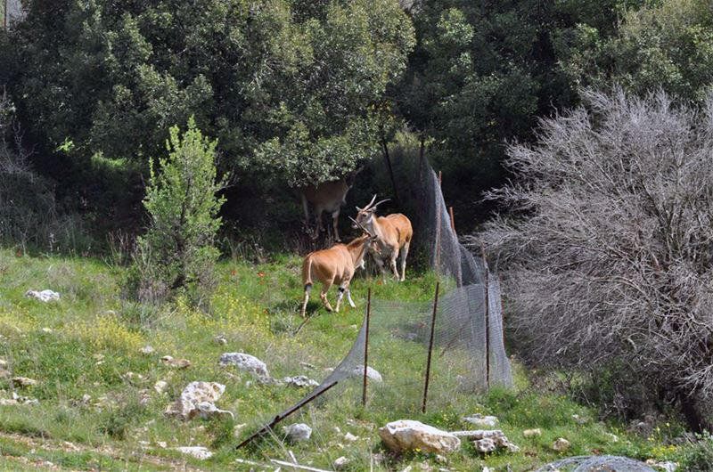 Gazelle or Antelopes on the borders of (Rmeich, South Lebanon)