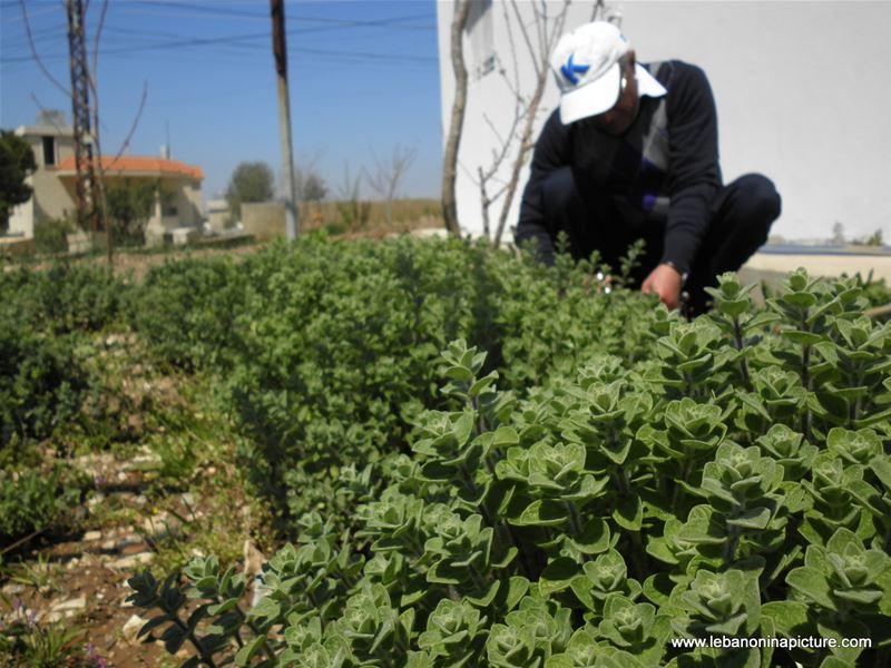 Zaatar Plantation