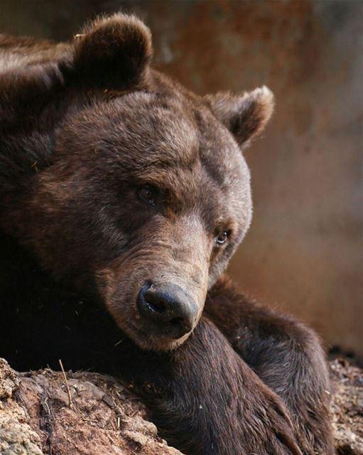 الدب السوري ♡ عاليه bear ■¤¤¤□¤¤¤■¤¤¤●○●¤¤¤■¤¤¤□¤¤¤■ Photo by : @k_taleb
