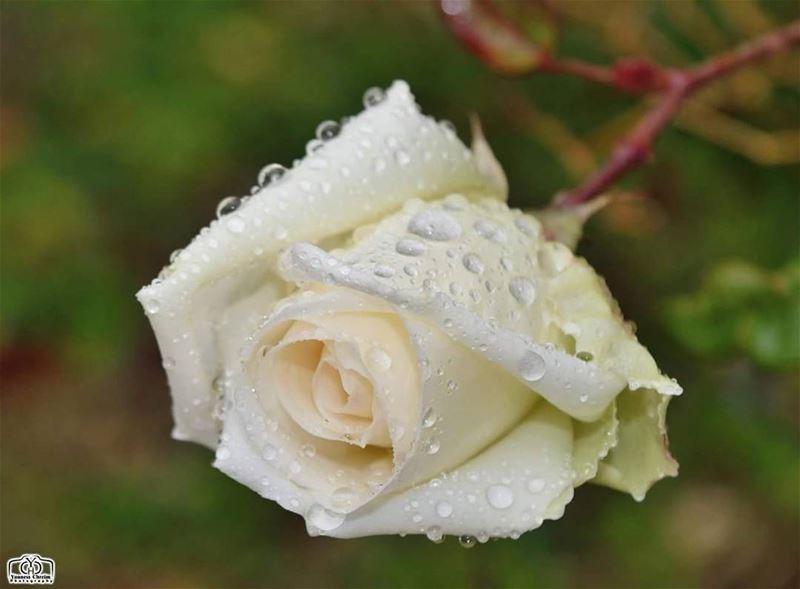 لأصحاب القلوب البيضاء صباحكم ورد أبيض كقلوبكم ☺ flower flowers garden ...